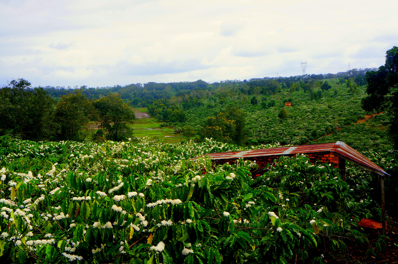 champs de café