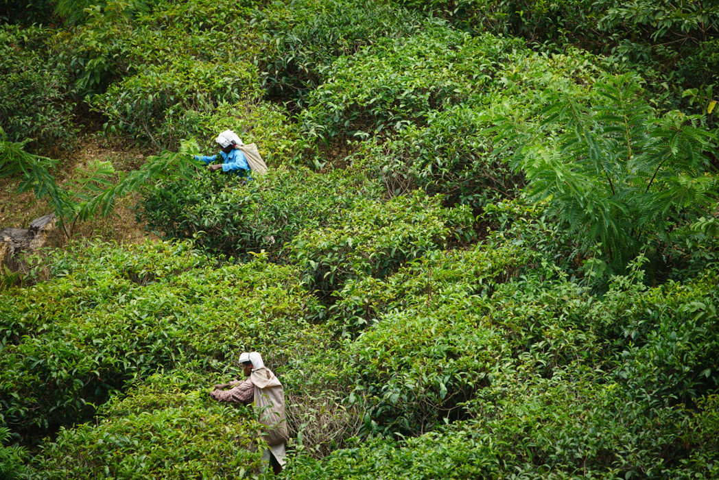 Tea pickers by the little Adam's peak