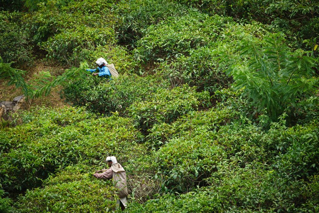 Tea pickers by the little Adam's peak