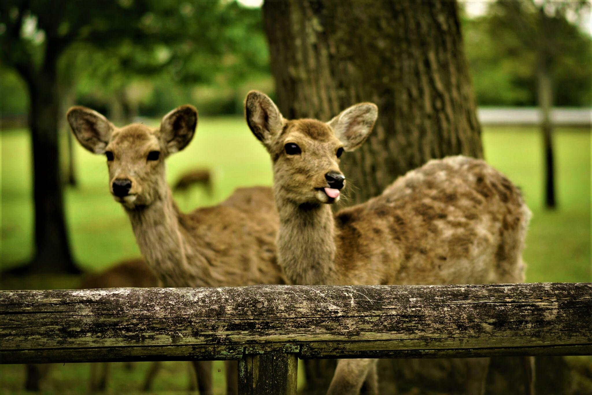 Cerfs de Nara