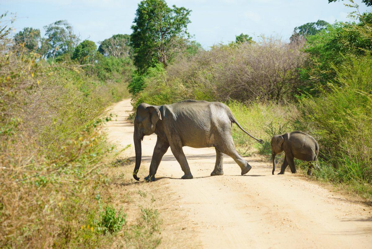 Safari au parc d'Udawalawe, Sri Lanka