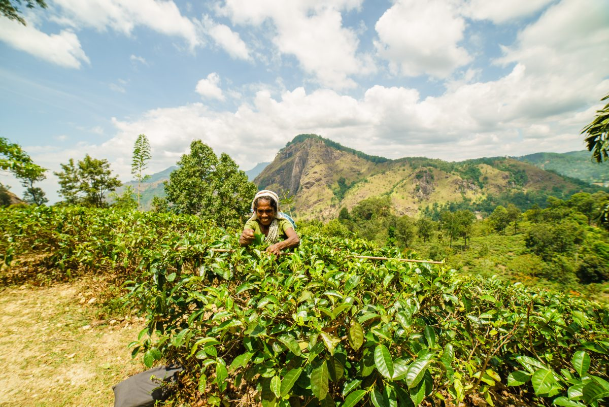 Tea picker in Ella, Sri Lanka