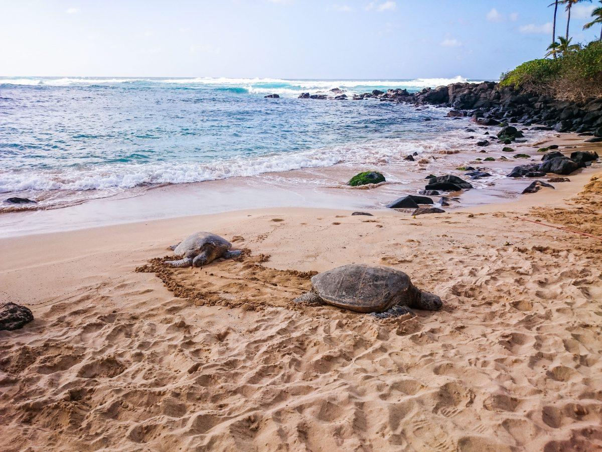 Plage de Laniakea, Oahu, Hawaï